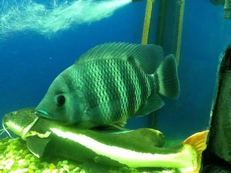 Одна из рыб аквагалереи