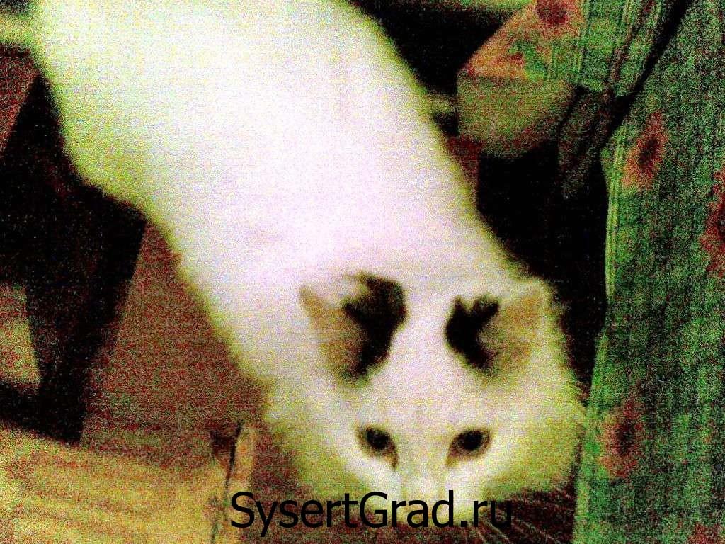 Кот белый, а уши черные