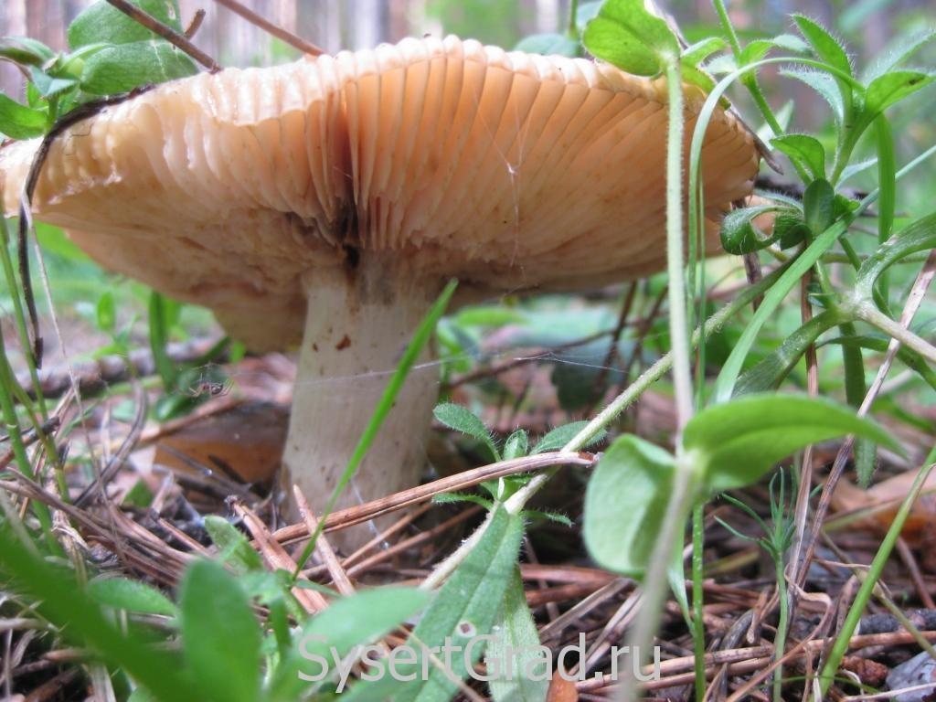Переросший гриб