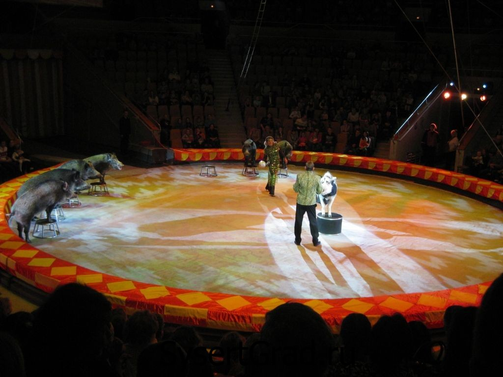 Кабаны на арене цирка