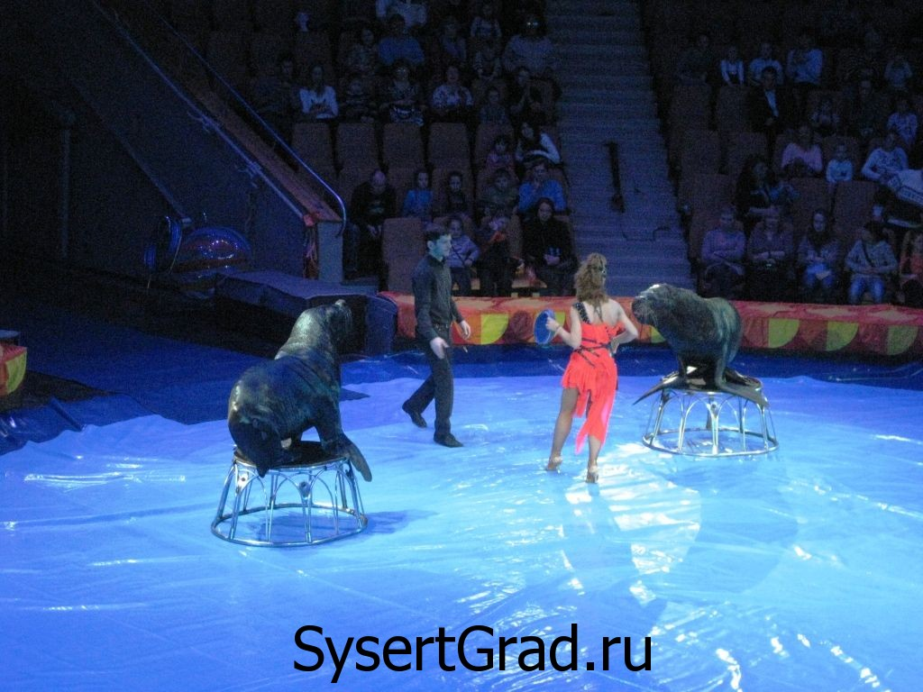 Тюлени в цирке