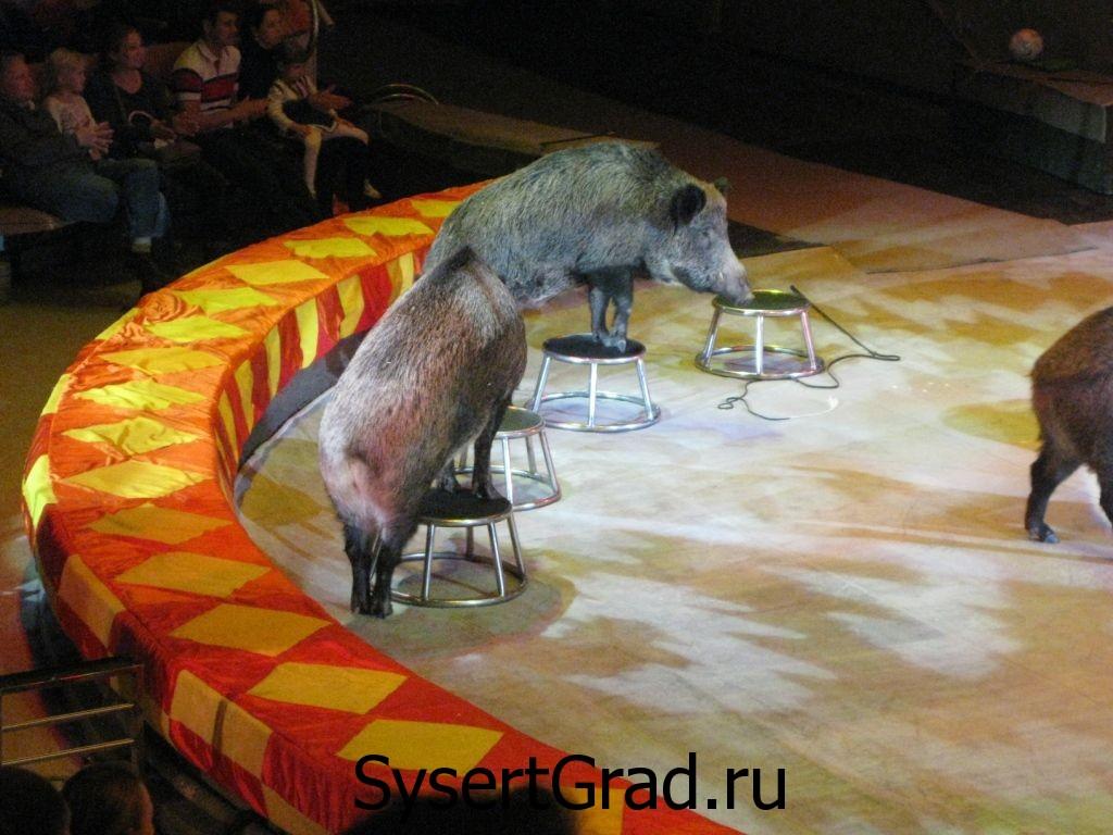 Выступление кабанов в цирке