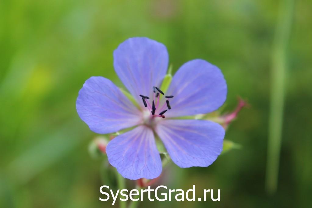 Удивительные цветы Сысерти