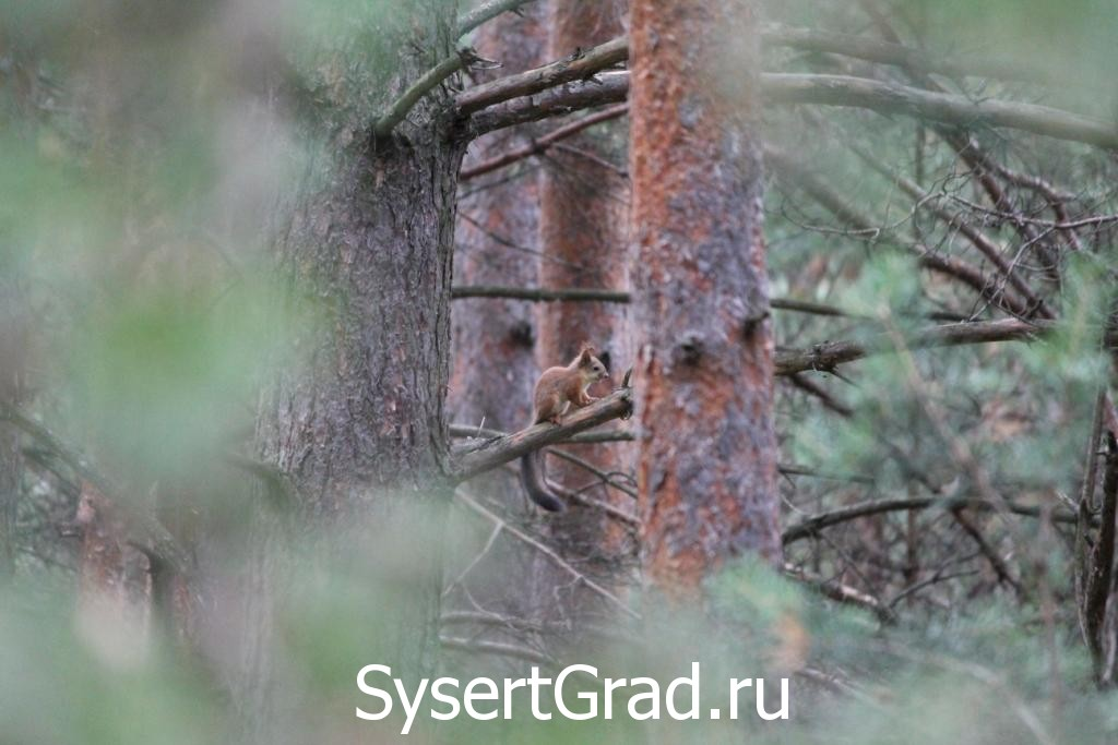 Белка в сысертском лесу