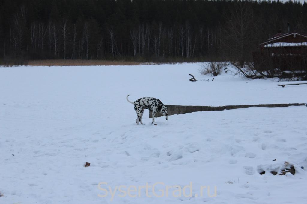 Далматинец в поселке Школьный