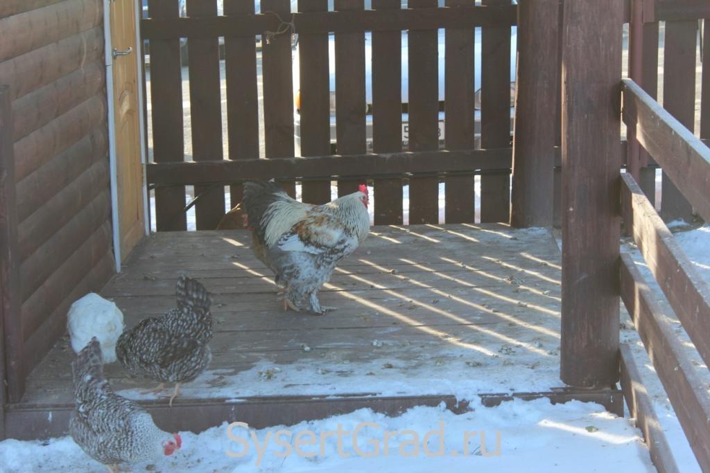 Домашняя курица в конноспортивном клубе Белая Лошадь
