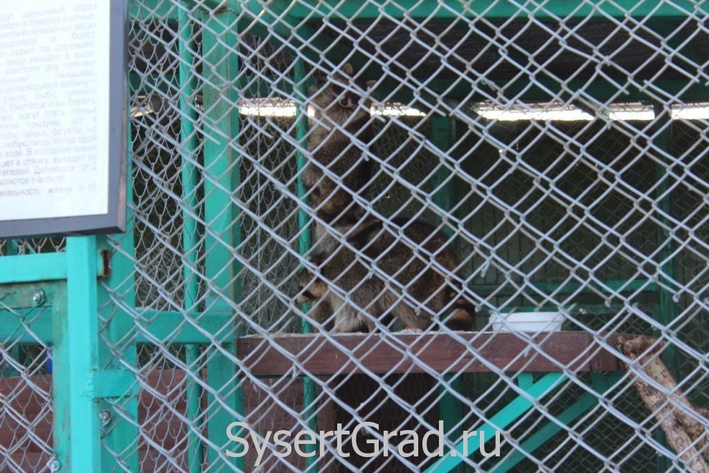 Енот в зоопарке КСК Белая лошадь
