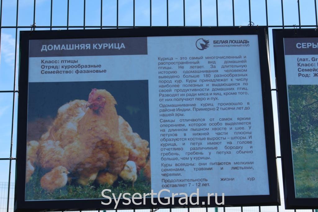 Информационный плакат о домашней курице в КСК Белая лошадь