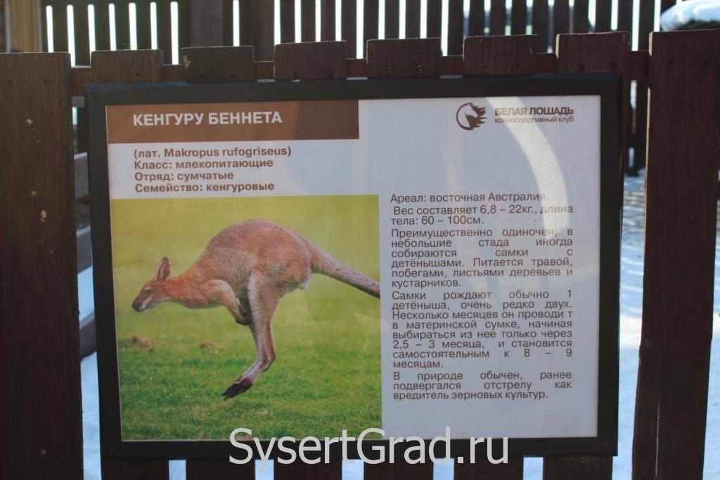 Информационный плакат о кенгуру