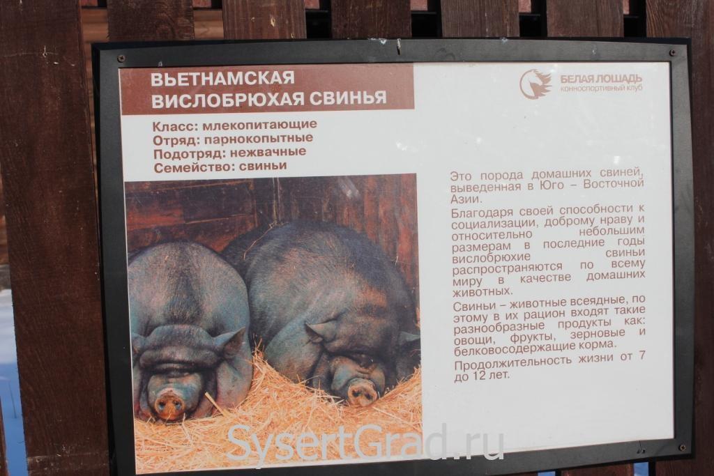 Информационный плакат о вьетнамской вислобрюхой свинье