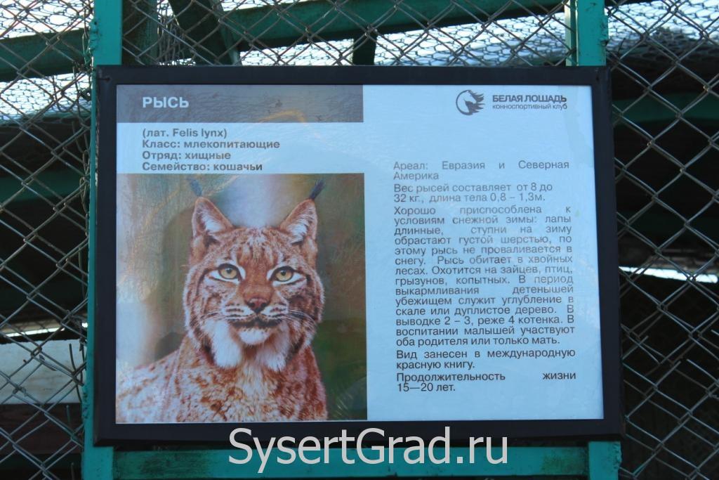Информационный плакат про рысь в КСК Белая лошадь