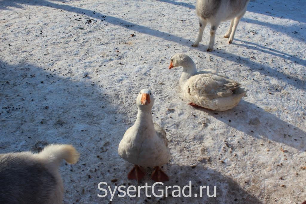 Нас заметили гуси в контактном зоопарке КСК Белая лошадь