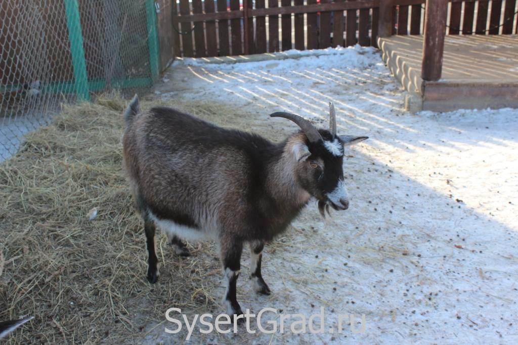 Одна из коз в конноспортивном клубе Белая Лошадь