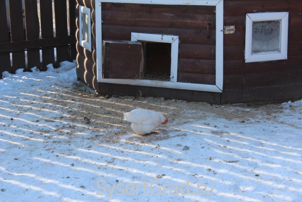 Одна из куриц в конноспортивном клубе Белая Лошадь