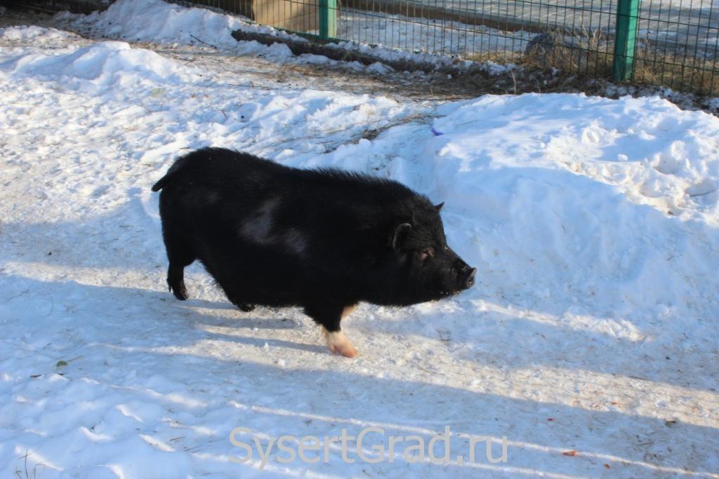 Одни из веселых обитателей зоопарка это свиньи