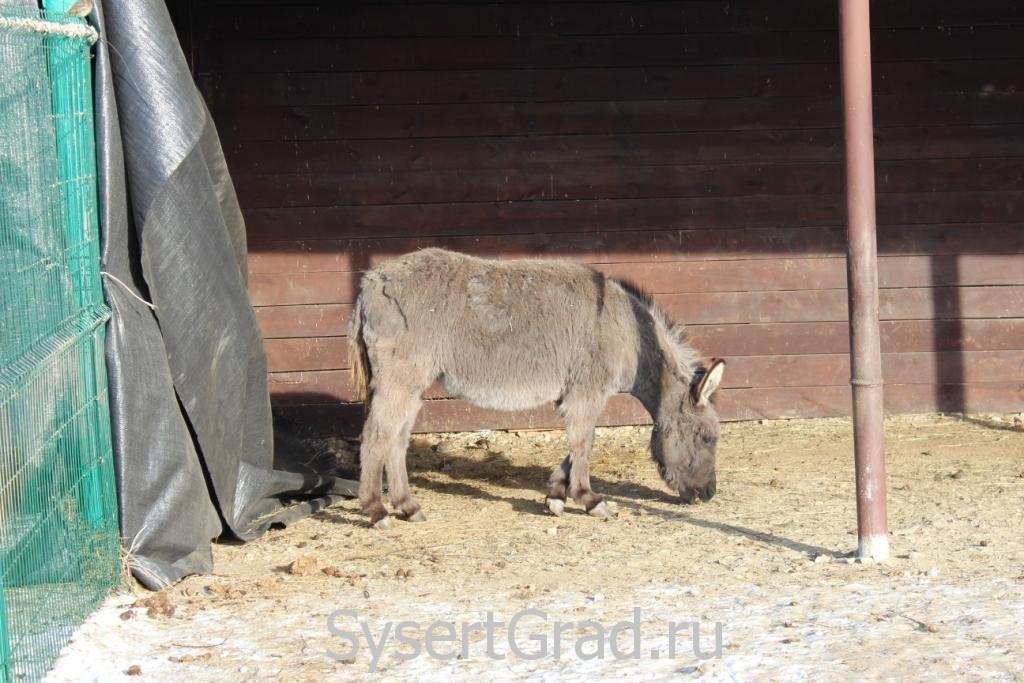 Осёл в зоопарке конноспортивного клуба Белая Лошадь