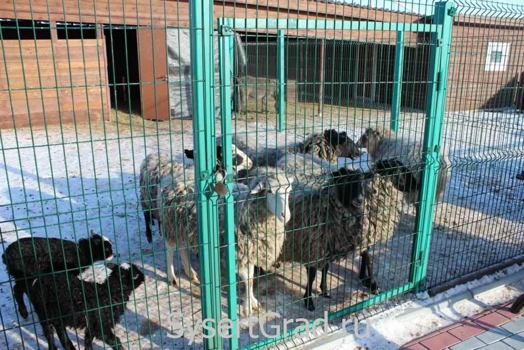 Овцы в зоопарке конноспортивного клуба Белая Лошадь