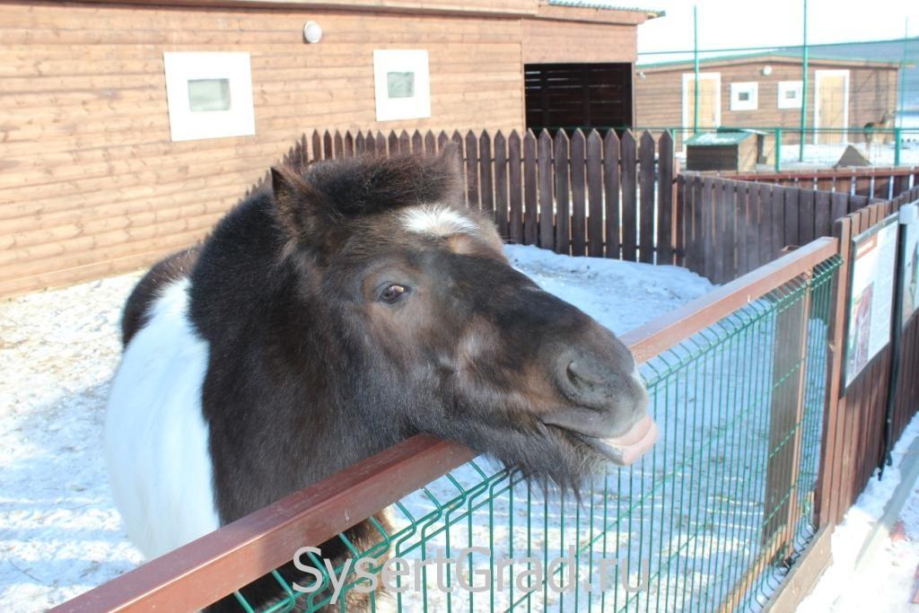 Пони показывает язык в контактном зоопарке