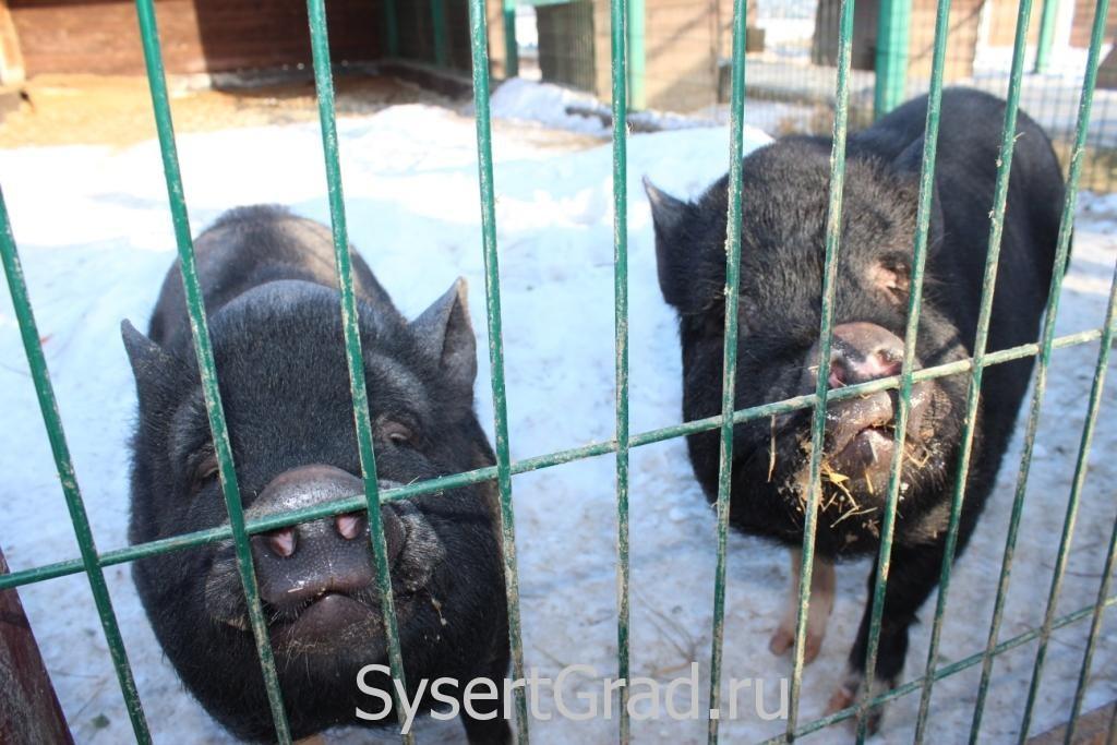 Свиньи - народ общительный