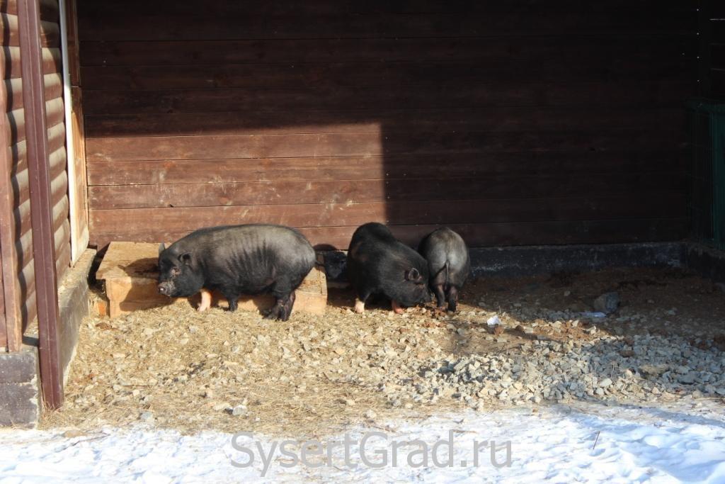 Свинка греется в лучах солнца в зоопарке