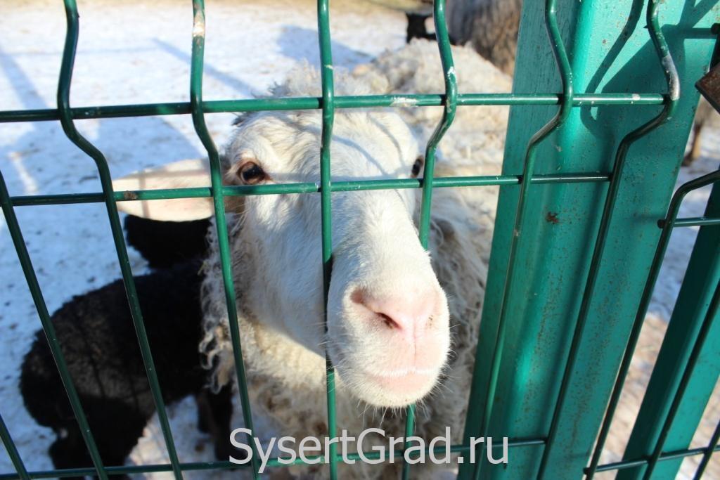 В зоопарке овец можно было гладить