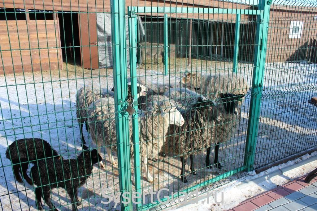 Во время посещения зоопарка овцы сильно орали