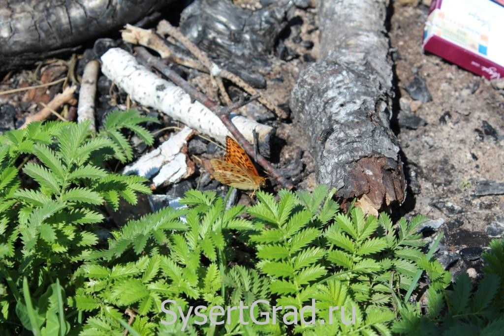 Бабочка на костровище