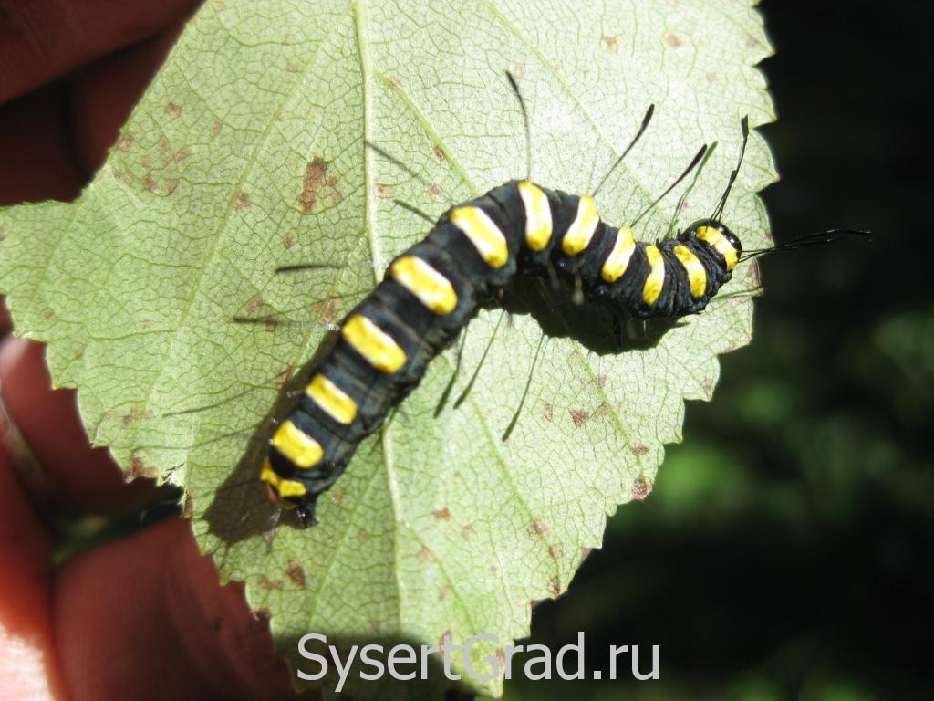 Необычная гусеница
